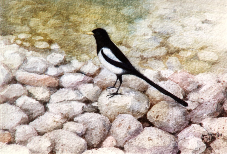 Magpie by the river (162K)